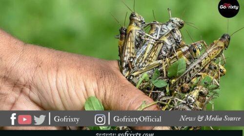 fighting the Locust in Pakistan